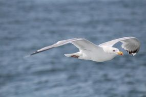 flying seagull in helgoland