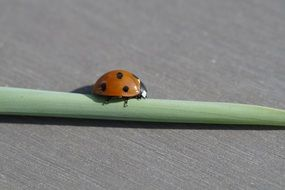 Ladybug on rolled green leaf