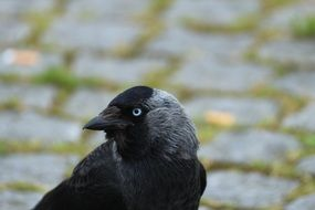 portrait of a black crow