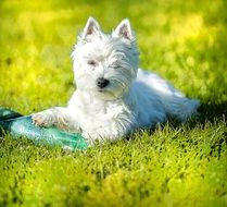 West Highland White Terrier, cute dog lying on green grass