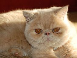 exotic persian cat with brown eyes