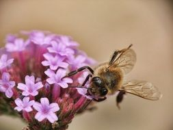 Closeup photo of Big honey bee on a flower