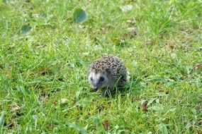 foraging hedgehog on the green grass