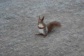 sitting cute squirrel