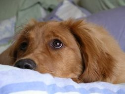 Golden Retriever with Big Eyes