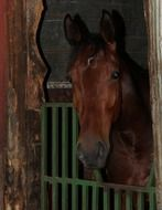 noble brown horse in the stall