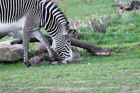 grazing striped zebra