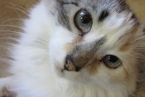 persian cat with expressive eyes