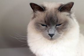 Sacred Birman cat
