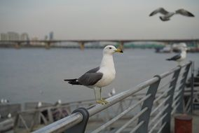 very beautiful and cute Seagull
