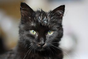 black kitten with wet head close-up