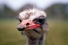 portrait of an australian ostrich