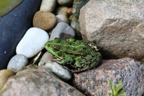 Frog on the stones