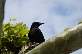 black crow on a branch against the blue sky