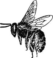 Flying honey Bee, Drawing