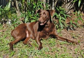 purebred brown dog on green grass