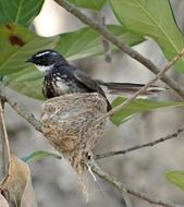 white-throated fantail flycatcher in the nest