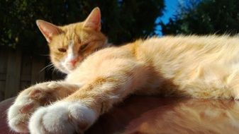 lazy ginger domestic cat