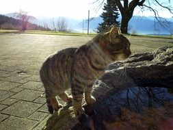 tabby domestic cat outdoor