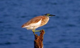 perched indian pond heron