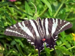 black and white scarce swallowtail