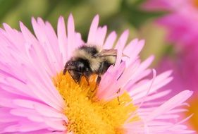 bee collects pollen from Aster