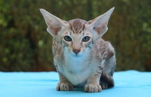 young oriental shorthair cat