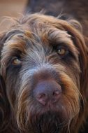 head of brown Wirehaired Long Eared Dog Close up