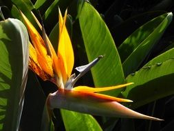 flower strelizie called the bird of paradise