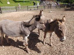 donkeys in the petting zoo