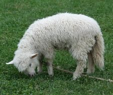 white lamb on a leash on a green meadow
