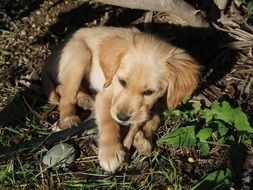 charming golden retriever puppy