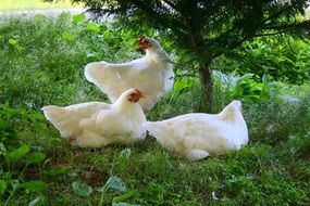 white domestic chickens on green grass