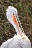 portrait of a wild pelican