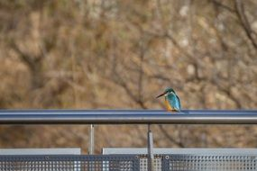 kingfisher bird on a metal pipe