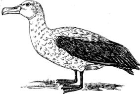 Picture of albatross