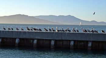 pelicans on the pier in San Francisco