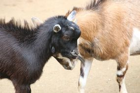young goats fight horns