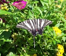 scarce swallowtail on the flower