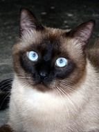 Photo of a Siamese cat with blue eyes