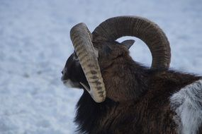 horns of mouflon
