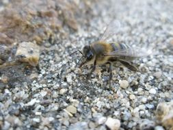 bee on small stones close up
