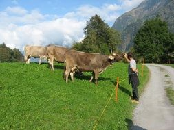 Cows on the mountains in Switzerland