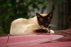 siamese cat resting on the car