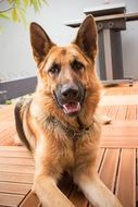 faithful german shepherd dog