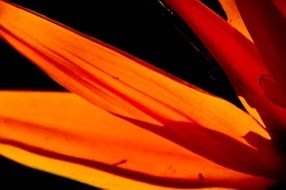 orange petals of a bird of paradise flower