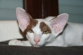 shorthair cat with big ears