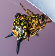 black and yellow spotted spider closeup