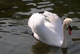 noble white swan in the lake