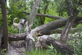 Dog in Forest at fallen Trees